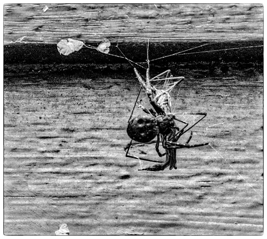spider (1 av 1)